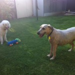 Barney and George pet minding