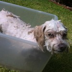 Buster During his bath