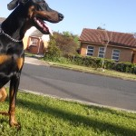 Rapha the Doberman